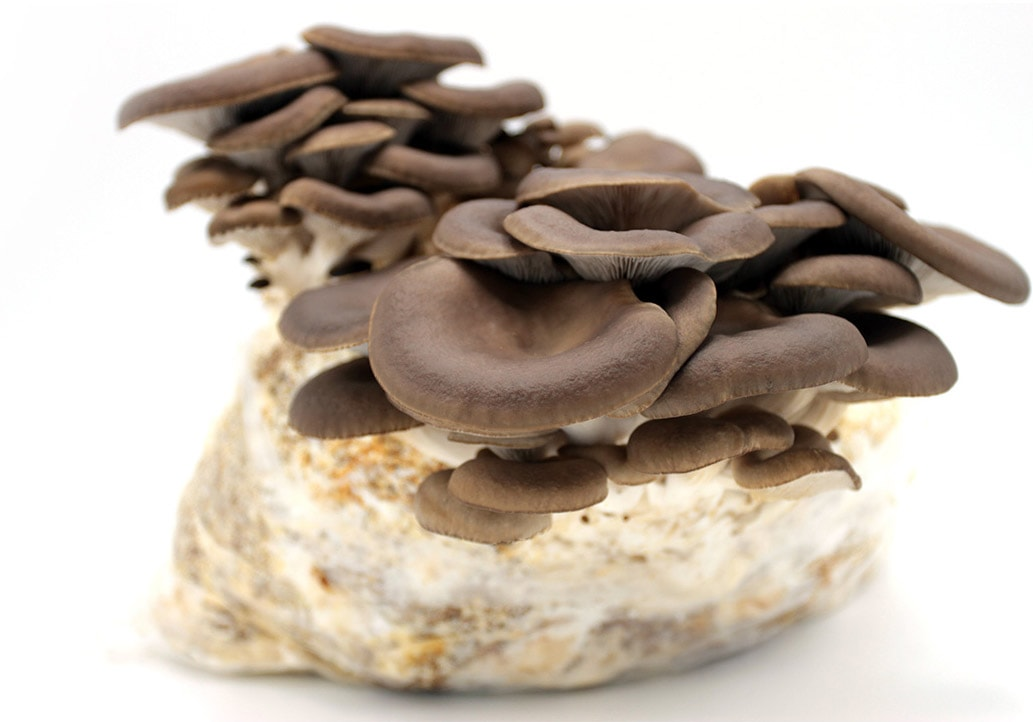 Funghi Mara - Sow and Collecting Kit - grow your mushrooms